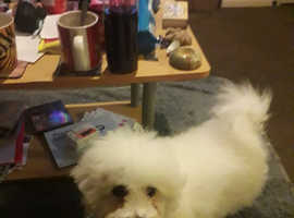 Wanted bichon frise young girl