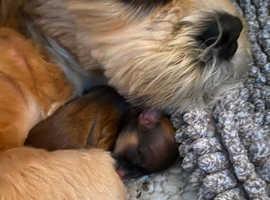 Beautiful Lhasa apsos puppies