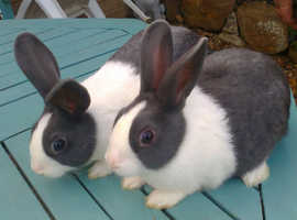 2 Blue Dutch Male Rabbits 9 Weeks Old