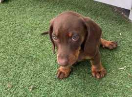 Puppy dachshund for sale