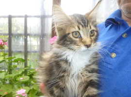 Persian Purebred maine coon kittens