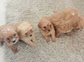 5 red cavapoos