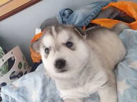 Husky wanted Male