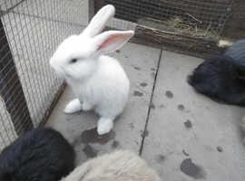 Baby Flemish bunny's