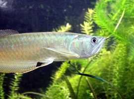 Silver Arowana and Red bellied Pacus