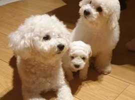 Lovely bichon puppies