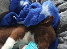 11 week old male Teacup Jackawawa puppy