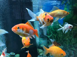 Goldfish for sale (Open to offers, read description)