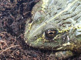 Dwarf bull frog
