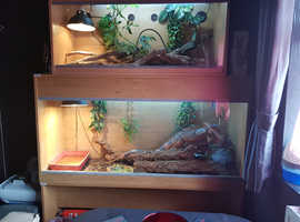 red iguana with 2 vivs