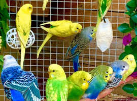 Fancy Mutation Baby Budgies / Helicopter & Cages
