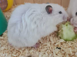 Syrian hamsters