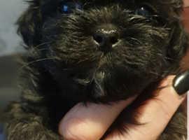 Shih-poo boys puppies pups puppy