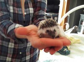 Pygmy Hedgehogs