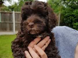 Wanted chocolate brown Cockapoo puppy