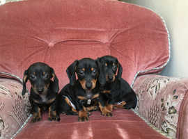 Black and Tan Miniature Dachshund Puppy's for sale