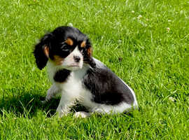 Cavalier kink Charles female puppy