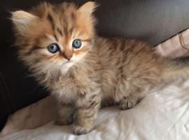 Polite Beautiful Persian kittens