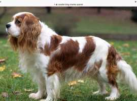 Cavalier King Charles Spaniel wanted please