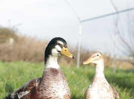 Beautiful Pairs of Miniature Appleyard Ducks