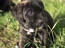 Cane Corso UK Litter - Big bones - Amazing puppies