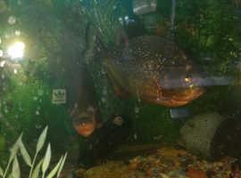 3 pirahna fish+tank