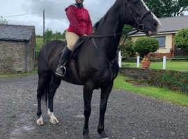16.3hh warmblood mare
