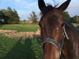 16HH 10years old; Dark Bay mare