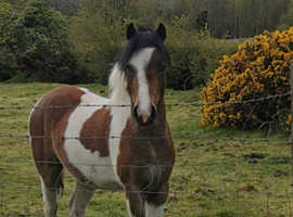 Gorgeous inquisitive pony good project. Rides well on lead just needs brought on