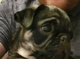 Beautiful Boy Pug Puppy