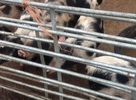 Weaners for sale various ages and size