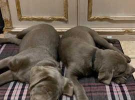 Silver Labrador puppies