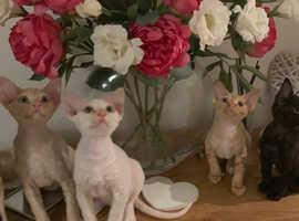 Beautiful Devon Rex Kittens