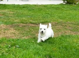 3/4 West Highland Terrier puppie