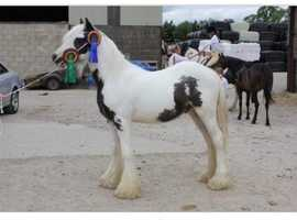 Blue piebald traditional cob gelding
