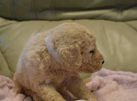 Goldendoodle puppies for sale !!