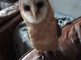 Dark breasted barn owl