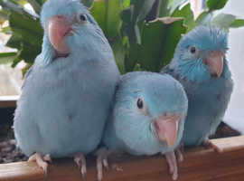 Pacific/Celestial Parrotlets- Available in 4 weeks for Sale