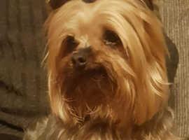 Yorkshire terrier studs