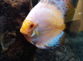 Discus fish various sizes