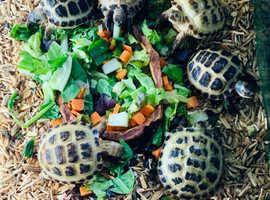 Horsefield tortoises ready NOW