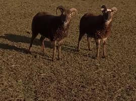 WANTED.   Soay sheep BOTH  FEMALE
