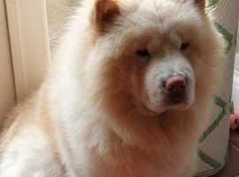Cream Chow Chow Kennel Club Registered
