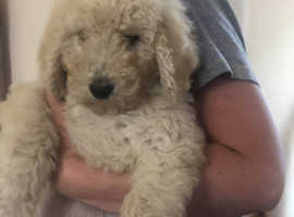 Stunning f1b labradoodle puppies **2 females left**