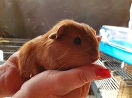 Baby guini pigs