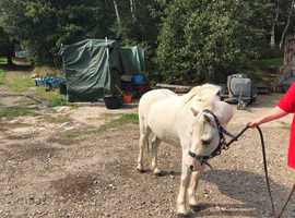 12hh welsh section A 12 years old gelding