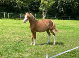 Welsh Section A Type Colt