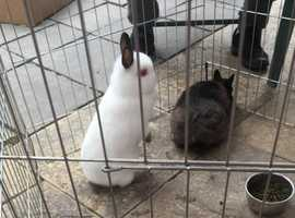 BEAUTIFUL PAIR OF NETHERLAND DWARFS~ PERFECT FOR CHILDREN!!!