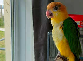 Yellow thighed Caique 7 month old