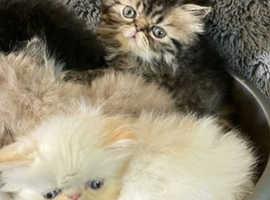 Ultra faced Persian male kitten (tabby) ready now
